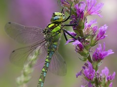Southern Hawker (Mature Male) (ukstormchaser (A.k.a The Bug Whisperer)) Tags: southern hawker hawkers uk dragonfly dragonflies fly flies animal animals wildlife milton keynes july flower flowers howe park wood perched tattenhoe