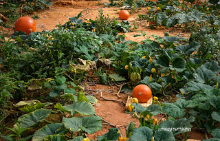 The red squashes - Dalat