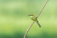 Green Bee-eater (BP Chua) Tags: bird nature wild wildlife animal green beeeater thailand khaoyai nikon d750 600mm bokeh