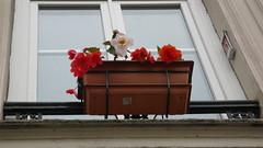 Jardinières de bégonia à mes fenêtres (jeanlouisallix) Tags: jardinière balconère jardinage fleurs nature plantes bégonia