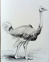 Ostrich (annevancamp) Tags: art artwork sketch schets ostrich drawing pencil potlood tekening struisvogel animal