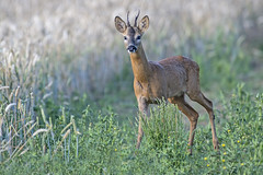 Roe Deer (Capreolus capreolus) (phil winter) Tags: roedeer capreoluscapreolus buck