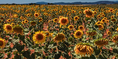Sun flowers (Martin Zurek) Tags: sunflowers sun flowers summer day color field farming farmer travel provence france 5dsr canon