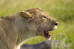 Lioness feeding on Buffalo kill (V I J U) Tags: 2016 africa kenya masaimara nature safari travel vijujose wildlife narok ke lioness buffalo kill blood feeding hunting ef500mmf4lisii canon5dmarkiii