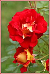 """ketchup and mustard"" (MEA Images) Tags: roses flowers gardens blooms flora nature parks pointdefiancepark rosegarden tacoma washington canon picmonkey"