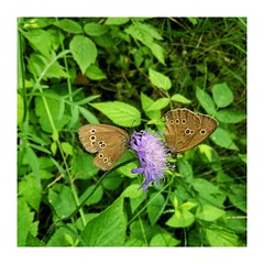 Yin and yang (jodagribok) Tags: drawa national park butterfly flower poland border snapseed summer oppofind5 oppo