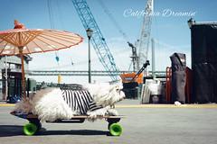 (勇 YoungAdventure) Tags: san francisco サンフランシスコ 샌프란 시스코 舊金山 nikkor50mmf2 nikkorhauto50mmf2 cute dog pet skateboard surfing californiadreamin ferrybuilding oakland bay bridge mt