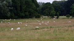 1416-14L (Lozarithm) Tags: reybridge sheep pentax zoom k1 28105 hdpdfa28105mmf3556eddcwr
