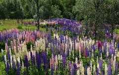 Norwegian summer in Bykle (annazelei) Tags: norway norwegian outdoor paysage landscape color colour colourful flora lupinus blumen blossom summer flower flowers lupin walking bloom blooming flowering lines bright nature natural field meadow july sunny light lilac flickr scenery trip