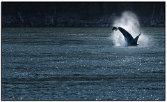 _DSD0550-aa (tellytomtelly) Tags: orca sanjuanislands salishsea killerwhale