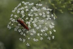 Falcaria vulgaris, Gewöhnliche Sichelmöhre, Roter Weichkäfer (julia_HalleFotoFan) Tags: falcariavulgaris sichelmöhre sicheldolde doldenblütler roterweichkäfer käfer
