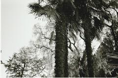 17 (Hi I'm Britt) Tags: film 35mm 35mmfilm kodak kodak400tx kodak400 blackandwhite istillshootfilm shootfilmstaybroke nikon nikonaf240sv filmphotography filmisnotdead filmsnotdead nature flash buildings trees sky nighttime palmtrees neon scans abbotsford abbotsfordconvent melbourne victoria australia cbd