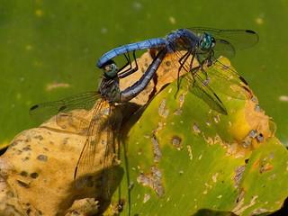 Blue Dasher