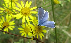 A Common Blue (Green_blade) Tags: bigbutterflycount butterflyconservation butterflies commonblue polyommatusicarus blue wildlife macro