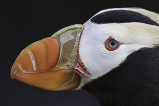 Tufted Puffin Portrait