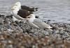 Caspian Gull (Larus cachinnans) (TG23-Birding in a Box) Tags: caspiangull laruscachinnans gull gulls cromer norfolk