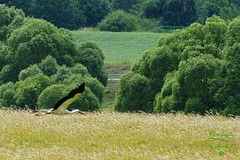 Speedy stork (Jurek.P) Tags: birds bird stork inflight mazury masuria landscape masurianlandscapes poland polska summer jurekp sonya77