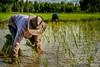 Rice farming in Udon Thani, Thailand (Goran Bangkok) Tags: thailand udon thani rice farming labour labor isan isaan esan esaan countryside planting fujixt2