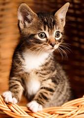 'Albi' (Jonathan Casey) Tags: tabby kitten cat catchums rescue norfolk uk jonathancaseyphotography nikon 105mm d810 f28 vr basket