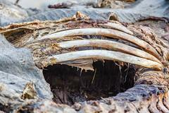 Ribs (C McCann) Tags: dead death muerto elephant etosha national park africa bones ribs