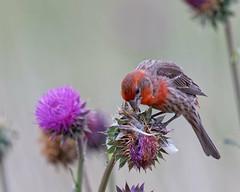 House Finch Carefully Selects Thistle Seeds (dcstep) Tags: bird finch housefinch male aurora colorado unitedstates us n7a5382dxo canon5dmkiv ef500mmf4lisii allrightsreserved copyright2017davidcstephens dxoopticspro114 cherrycreekstatepark