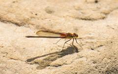 2U7A2399 (rpealit) Tags: scenery wildlife nature east hatchery alumni field american rubyspot damselfly