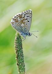 Chalkhill Blue, Male - Polyommatus coridon (jaytee27) Tags: chalkhillbluepolyommatuscoridon male naturethroughthelens