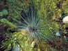 Diadema sea urchin, Panama City Beach, Florida (Hawkfish) Tags: panamacitybeach florida floridapanhandle gulfofmexico snorkeling underwater marinelife canonpowershots100 standrewsstatepark diademasp diadema seaurchin urchin
