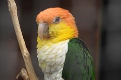 Caique (blue33hibiscus) Tags: caique parrot paradisepark hayle cornwall