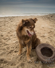 SZP_8921_pslr5 (Lakeside Annie) Tags: 2017 20170719 aussie australianshepherd bethanybeach bethanybeachde bethanybeachdelaware d7100 delaware denali july19 leannefzaras nikon nikond7100 redtri redtriaussie sarazphotography sigma sigma1770mm wednesday beachdog dog sandynose sandypaws beach delawarebeach