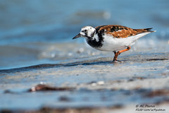 On A Hot Florida Day It's A Ruddy Good Day To Beach About It (ac4photos.) Tags: bird shorebird turnstone ruddyturnstone beach nature wildlife animal florida naturephotography wildlifephotography birdphotography shorebirdphotography beachphotography animalphotography nikon d500 tamron150600mm ac4photos ac