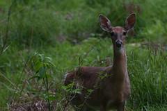 White-Tailed Deer, Lake Hope (benandrew) Tags: whitetailed deer animal wildlife