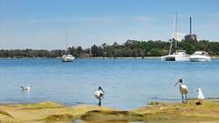 Bay of Sydney (melqart80) Tags: holiday oceania harbour porto acqueazzurre baia sea mare australia animals bird birds