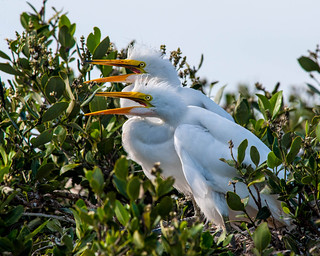Great Egret Chicks (5-6 Weeks Old) ready for feeding time - Indian River in New Smyrna Beach, Florida