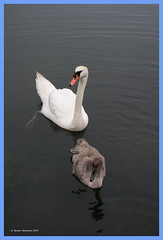 Mama Swan & one of her Cygnets (James0806) Tags: wickford rhodeisland usa swans cygnets waterbirds birds
