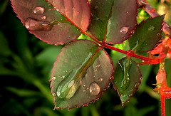 LOTS OF DROPS (Lani Elliott) Tags: nature naturephotography lanielliott leaves drops droplets waterdroplets aftertherain garden homegarden green red bokeh macro upclose close closeup macrounlimited greenbackground gorgeous