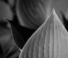Leafs (MortenTellefsen) Tags: leaf leafs bw blackandwhite blackandwhiteonly svarthvitt plants monochrome macro