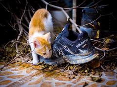 Back-Door Cat (C & R Driver-Burgess) Tags: cat shoe leaves tile floor twig stick ginger orange blue inquisitive tentative explore 猫 小 鞋子 橙色 树叶 树枝 上地