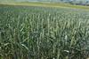 Weizenfeld (julia_HalleFotoFan) Tags: getreide süsgräser weizen weizenfeld triticum