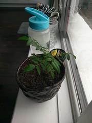 2017-07-26 10.52.52 (lktiger) Tags: plants curry leaves