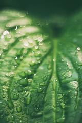 morning dropz (LiquidStep) Tags: morning drops natural rain leaves samsungnx m42 details pentacon pentacon50mmf18