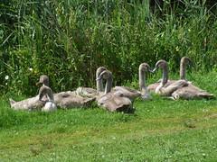 swan children (PaperInstax) Tags: swan baby babys swans schwan germany german green deutschland deutsch fuji fujifilm finepix s9600 animals tier tiere animal nature natur