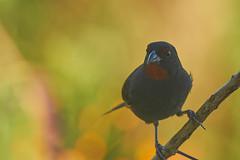 Lesser Antillean Bullfinch1410 (ronmcmanus1) Tags: antigua bird nature outdoors wildlife jollyharbour stmarysparish antiguabarbuda