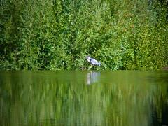 Caminando sobre las aguas (Luicabe) Tags: agua airelibre animal árbol ave cabello duero enamorado exterior garceta garza lluvia luicabe naturaleza paisaje planta reflejo río yarat1 zamora zoom ngc