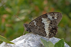 Brintesia circe - the Great Banded Grayling (BugsAlive) Tags: butterfly butterflies mariposa papillon farfalla schmetterling бабочка animal outdoor insects insect lepidoptera macro nature nymphalidae brintesiacirce greatbandedgrayling satyrinae wildlife ardèche plateaudesgras bidon liveinsects france