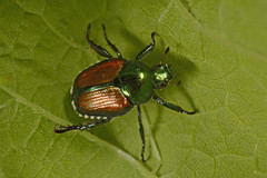 _JB10884_c (Joseph Berger Photos) Tags: japanese beetle popillia japonica scarabaeidae insect macro family