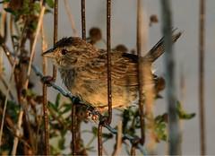 Suzanne Zuckerman, Bachman's Sparrow taken at Kissimmee Prairie Preserve State Park