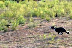 La caccia (Maurizio Belisario) Tags: coniglio rabbit cane dog corsa run caccia hunting chase inseguimento nature natura roma rome parcodellacaffarella park fear paura bunny