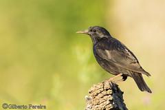 Sturnus unicolor (LdrGilberto) Tags: estorninho preto spotless starling sturnus unicolor apúlia bird ave nature natureza sturnusunicolor spotlessstarling