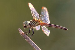 Dragonfly Catch (Monkeystyle3000) Tags: